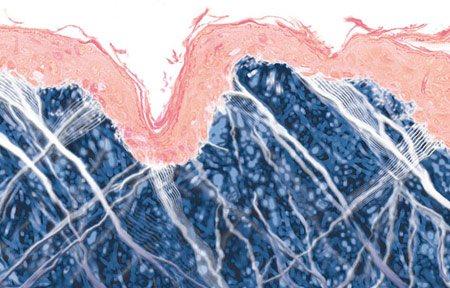 Tranh minh họa sinh động về bề cấu trúc da