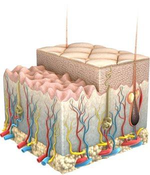 Minh họa sinh động về làn da và các lớp của nó